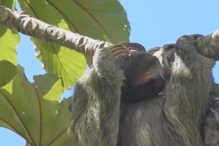 Vídeo impressionante mostra preguiça dando à luz nas alturas