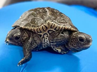 O filhote de tartaruga nasceu há cerca de duas semanas