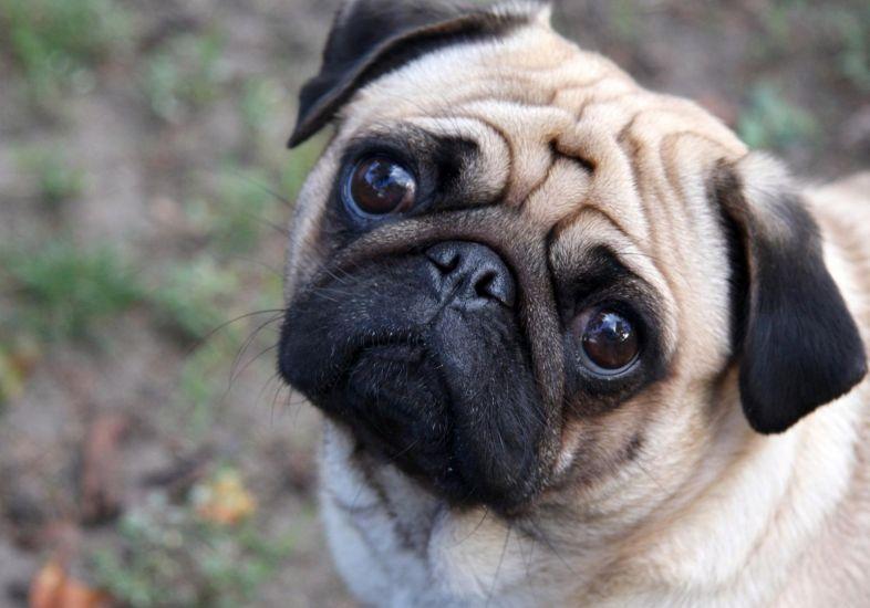 Cão da raça pug de frente e olhando para a câmera