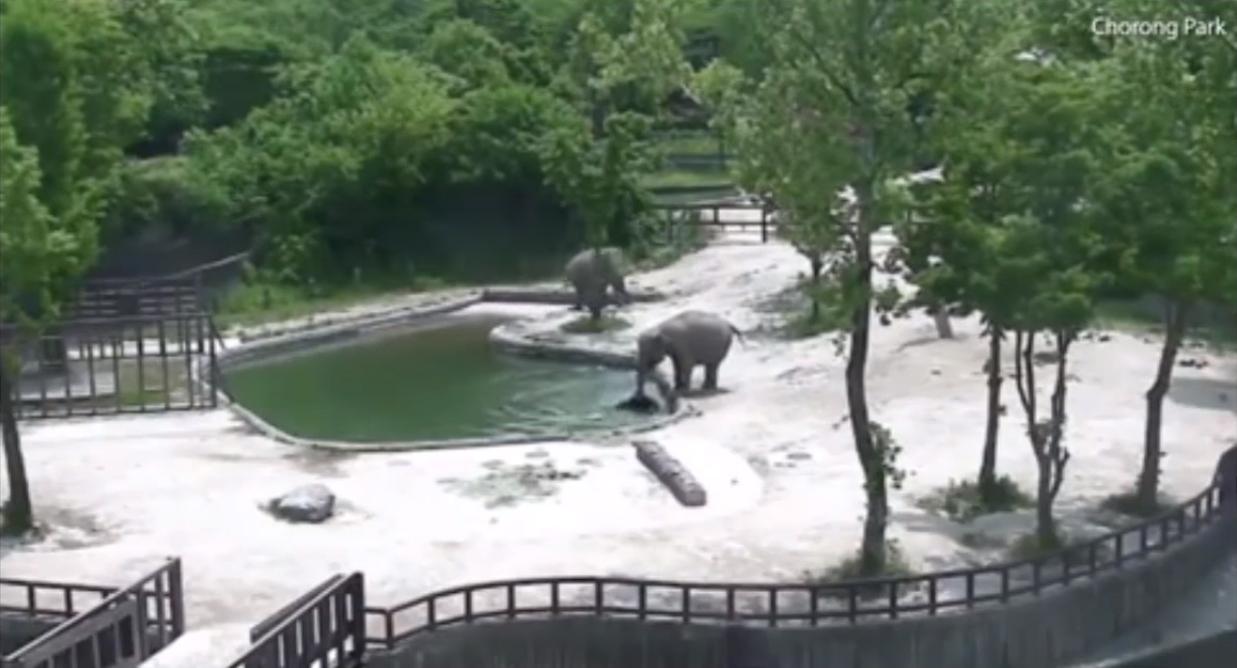 Momento em que os elefantes correm em resgate ao filhote