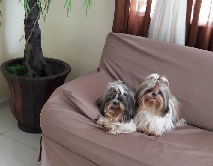 Cães em um sofá