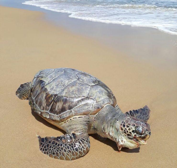 Corpo da tartaruga na faixa de areia, próximo ao mar